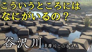 【二子玉川】兵庫島公園から谷沢川 小物釣り【多摩川】 thumbnail