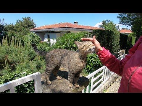 Tabby cat meowing so cute like a duck