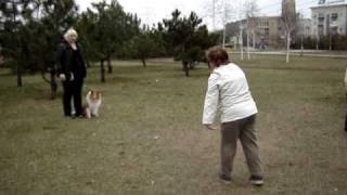 видео Дрессировка Колли