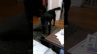 Big dog tricks tiny dog into playing and then rolls on top of him! Hilarious!