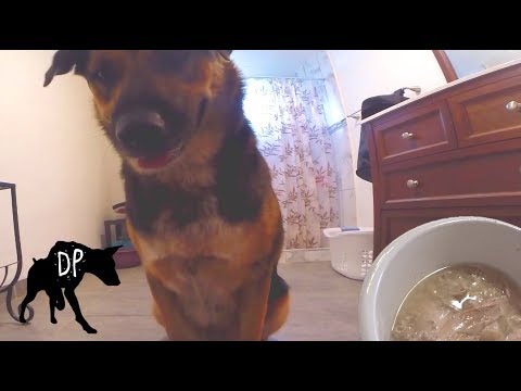 German Shepherd Pitbull Mix Eating Turkey Bone Broth