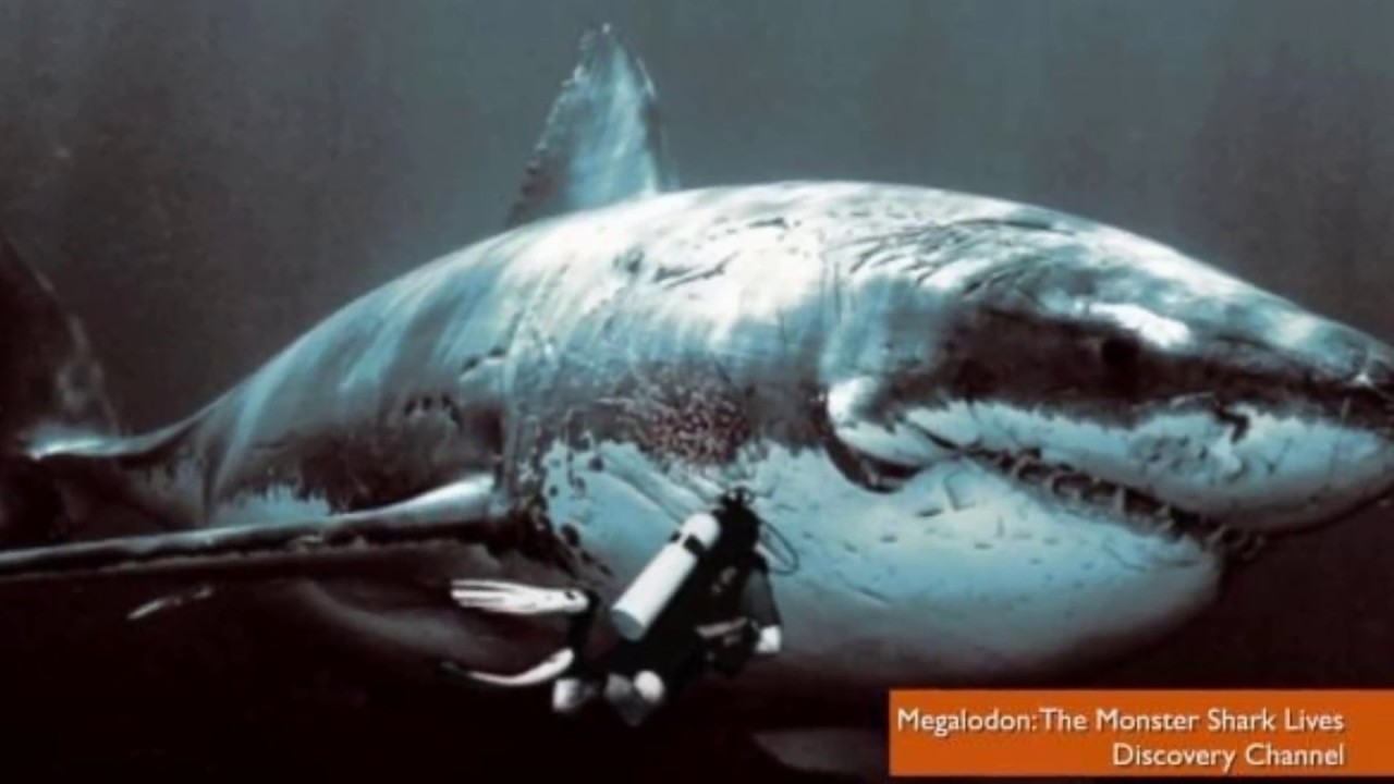 megalodon shark exists! recent sightings & sharks pictures prove it