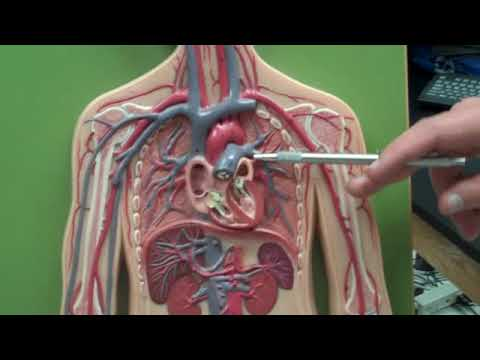 Human Blood Vessels Anatomy Youtube