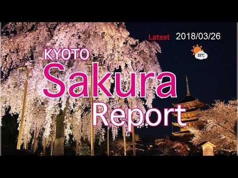 Kyoto Sakura report 2018/03/26