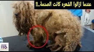 كانت تبدو كلبة جميلة لكن عندما قاموا بقص شعرها كانت الصدمة !!