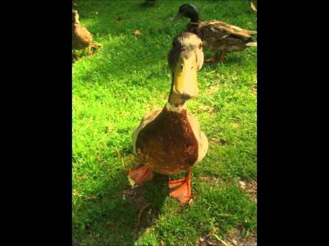 sonnerie canard siffleur