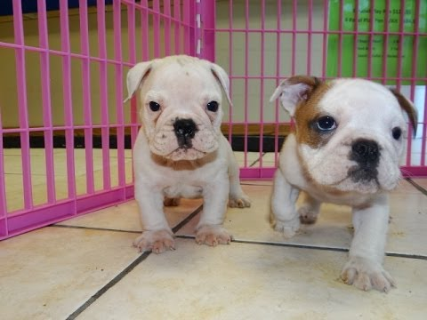 English Bulldog, Puppies, Dogs, For Sale, In Birmingham ...
