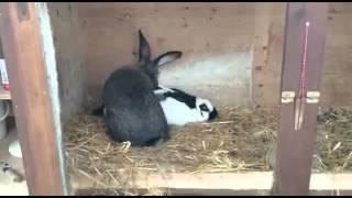Кролик   скорострел
