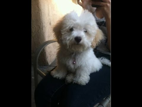 Tiny Maltipoo pups for sale in Ocala Florida - Michelines