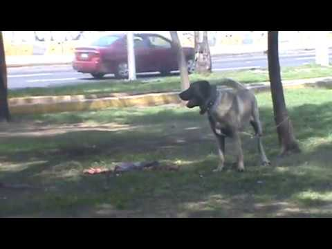 Kangal in Action
