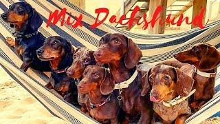 Mix Dachshund Playful Naughty, Dachshund on Vacation mode ,Weiner Teckel Sausage miniature Lovers.