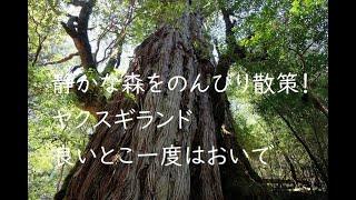 【屋久島ヤクスギランド】屋久杉の原風景を堪能。静かな森をのんびりと歩くことができる穴場コース。親子登山にも最適です。