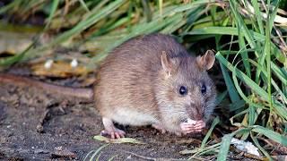 Восточный гороскоп - Крыса