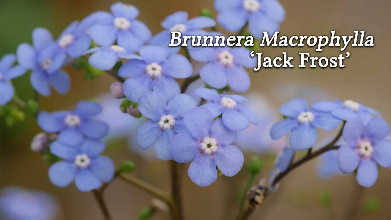 The Adorable Brunnera Macrophylla Jack Frost Youtube