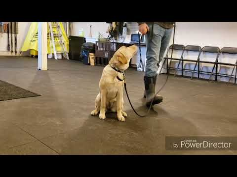 How To Start A Puppy On The E Collar