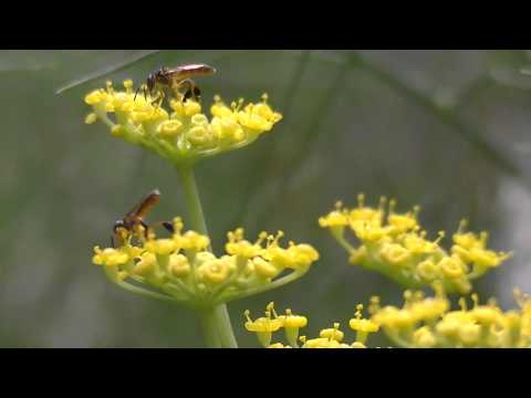 Tetragonisca angustula Abelha Jataí (Meliponini) Stingless bees