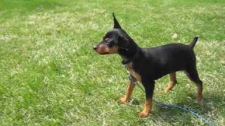 Miniature Pinscher Peeing, Amazing!
