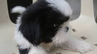 Boy Shih Tzu Pup For Sale (black & White)