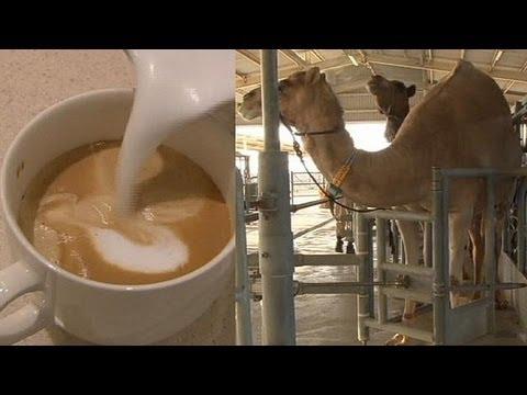 Camel Milk Not Just For Desert