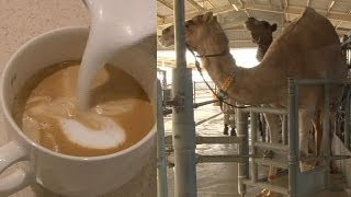Camel milk not just for desert