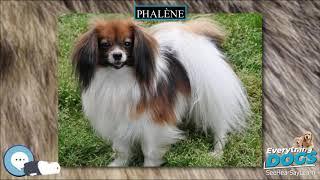 Phalène  Everything Dog Breeds