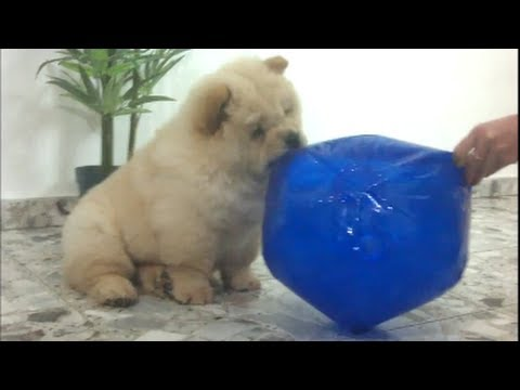 Chow Chow puppy in CUTE balloon fight