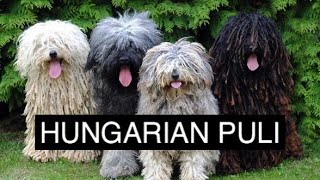 The Hungarian Puli Dog
