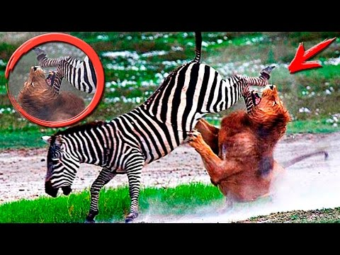 УБЕЙ или УМРИ. Удивительные моменты из жизни диких животных / Most Amazing Wild Animals Moments