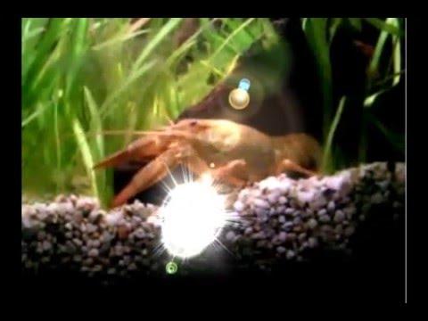 crayfish song