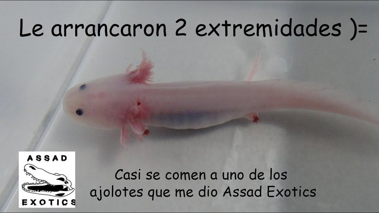 Canibalismo en los ajolotes que me dio Assad Exotics.