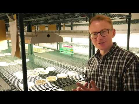 Developing Gene Editing Techniques For Rice At Cornell Plant Transformation Facility