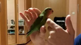 Попугай неразлучник не боится рук