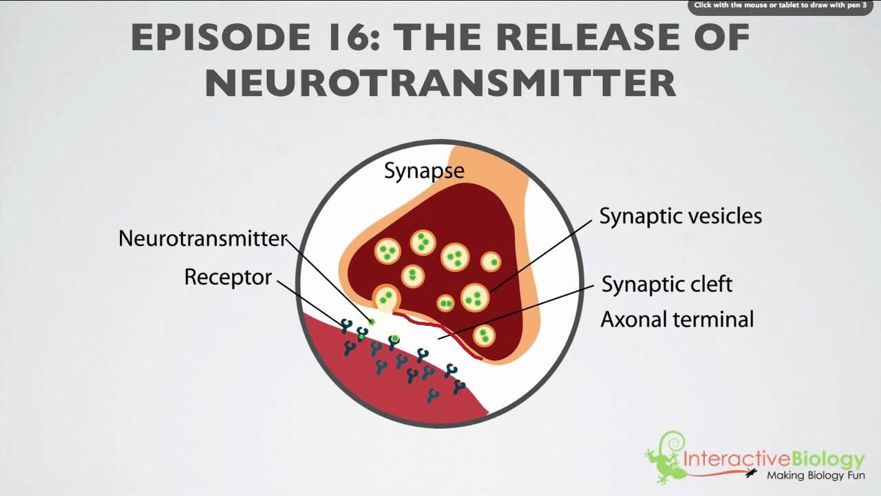 Image result for neurotransmitter
