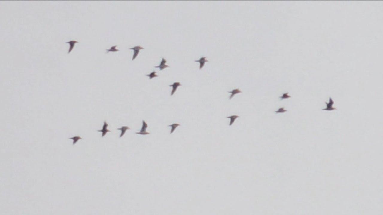 En flock fåglar flyger i formation den 11 november 2014 - YouTube