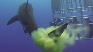 Le Requin Qui Fait Caca