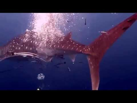 Whale Shark Sighting at Pulau Tenggol 28th September 2015