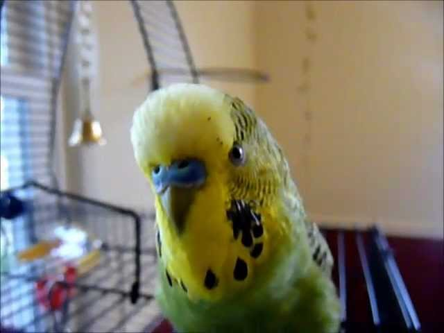 Beat-Boxing Parakeet