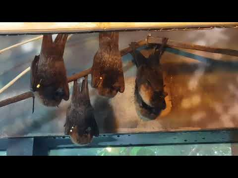 A group of Rodriguez flying fox es and their enclosure
