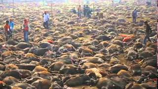 Animal Slaughter In Nepal 2014