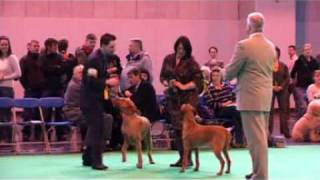 DFS Crufts 2010 Best of Breed Hungarian Wirehaired Vizsla