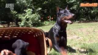 Доберман. Породы собак. Dog breeds, funny, funny cats and dogs