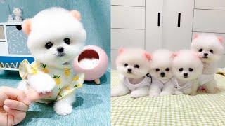 Cute and Funny Pomeranian Videos 131 #Shorts