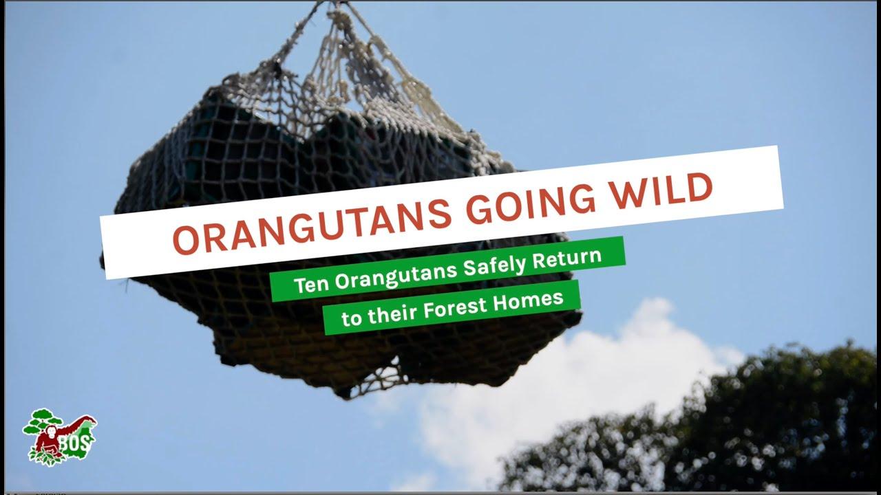 ORANGUTANS GOING WILD
