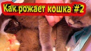 Kак рожает кошка #2/ Giving birth cat. Рождение котёнка и первый вздох. Окот у кошек Шотландская.