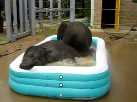 Elephant babies love swimming in mini pool:-)