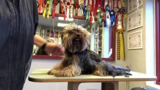 Sparky - en filtret Yorkshire Terrier 1.del