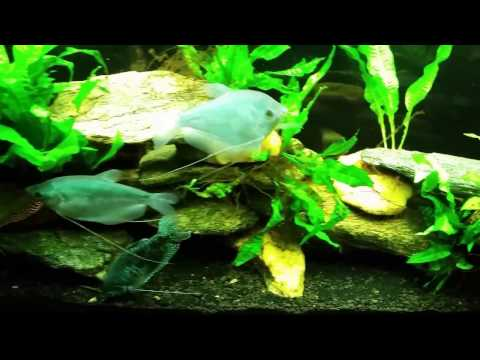 Twig catfish from YouTube · High Definition · Duration:  1 minutes 40 seconds  · 499 views · uploaded on 5/15/2012 · uploaded by maxxas2000