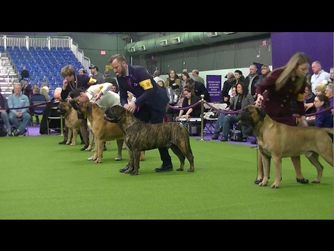 Bullmastiff At Westminster Dog Show