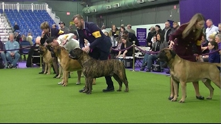 Bullmastiff Westminster dog show 2017 b