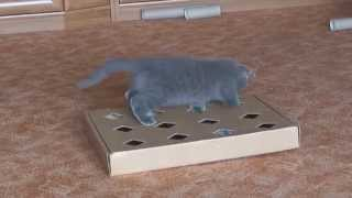 Мой британский кот Прохор. Игрушки для котов своими руками.